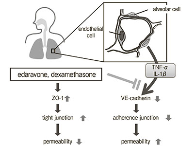 Inhibitory Effects of Edaravone, a Free Radical Scavenger, on Cytokine-induced Hyperpermeability of Human Pulmonary Microvascular Endothelial Cells: A Comparison with Dexamethasone and Nitric Oxide Synthase Inhibitor